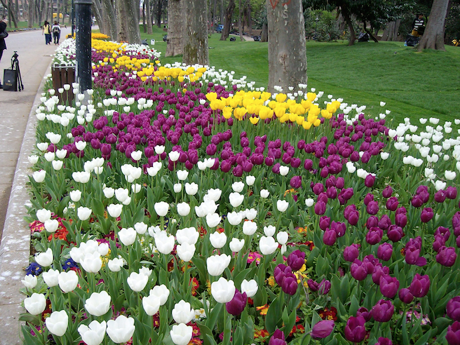 tulpen-in-istanbul